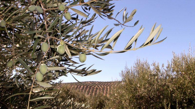Syngenta pone a disposición de los olivareros su gama de producto para los tratamientos herbicidas y nutricionales del otoño